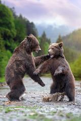 Wall Mural - Two big brown bears in river