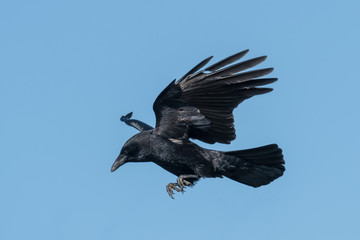 Flying raven on landing in front of blue sky