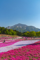 Spoed Foto op Canvas Roze View of Pink moss (Shibazakura, Phlox subulata) flower at Hitsujiyama Park. The hills are filled with pink, red, blue, white flowers. Shibazakura festival in Chichibu city, Saitama Prefecture, Japan.