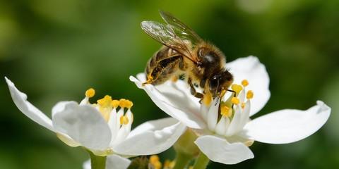 Foto op Plexiglas Bee abeille dans le jardin