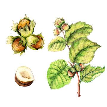 Botanical illustration of hand drawn hazelnut