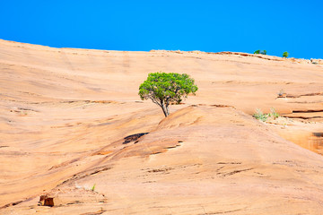 Lone tree in Red Rock Park near Gallup, New Mexico, USA