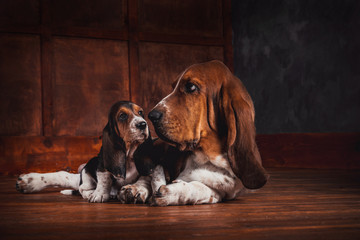 Basset hound and a puppy lay on the wooden floor