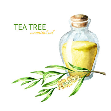 Tea tree essential oil. Medicinal  and cosmetics plant, Watercolor hand drawn illustration, isolated on white background