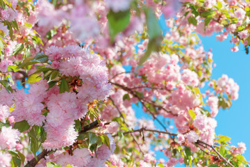 buds of cherry blossom. branches with beautiful tender flowers. wonderful springtime background in the garden