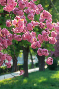 buds of cherry blossom in springtime.  branches with beautiful tender flowers. wonderful urban scenery in the park