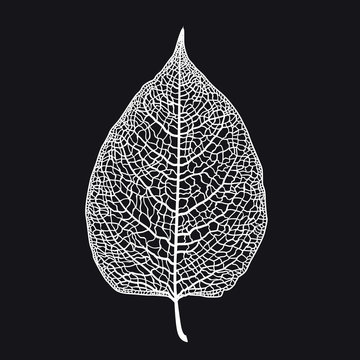 Vector skeletonized leaf of a tree on a black background. The graphic element may be used as a design background, business cards, postcards, etc.