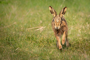 Fototapete - European Brown Hare Running in moult