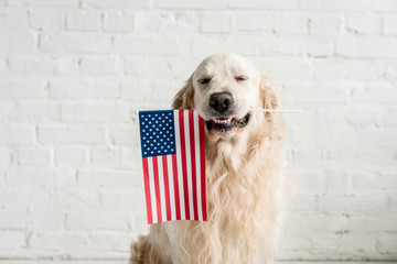 cute golden retriever with closed eyes holding american flag Wall mural