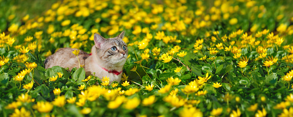 Wide horizontal picture of a tabby cat at the flower meadow