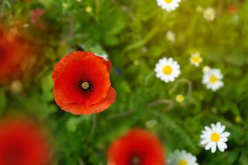 Clode up Poppy flower photo