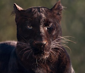 portrait of black panther