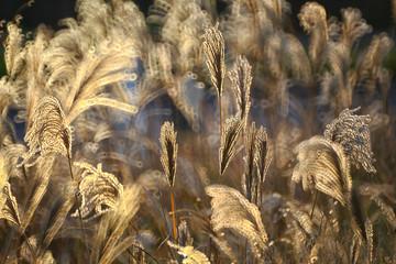 Reed, gras-like plants of Costa Brava. Girona