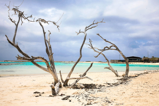 Old and dry divi-divi tree at Baby beach Aruba