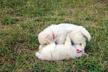 two small beautiful dogs Golden Retriever white puppies playing on the green lawn close up