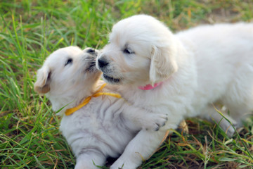 two small beautiful dogs Golden Retriever white puppies playing on the green lawn closeup
