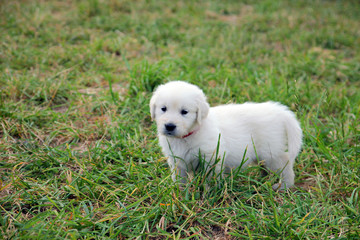 lonely small beautiful dog Golden Retriever white puppy walking on the green lawn closeup