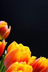 Red-orange tulips with water drops on a black background  Floral