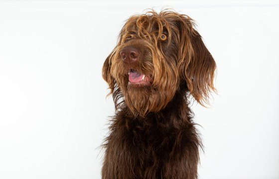 Surprised brown labradoodle on white background