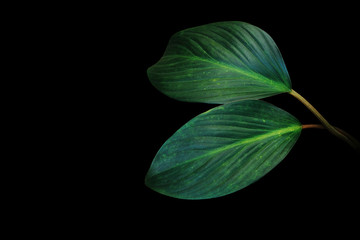 Wall Mural - Dark green leaves of tropical foliage plant growing in wild isolated on black background.