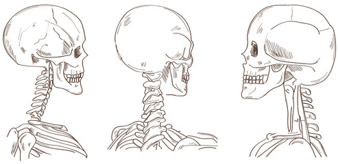 Human skulls in different perspective