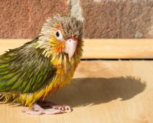 Small Conure pet parrot ruffled wet plumage