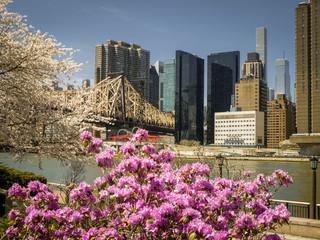 Cherry blossom festival at Roosevelt Island, NYC