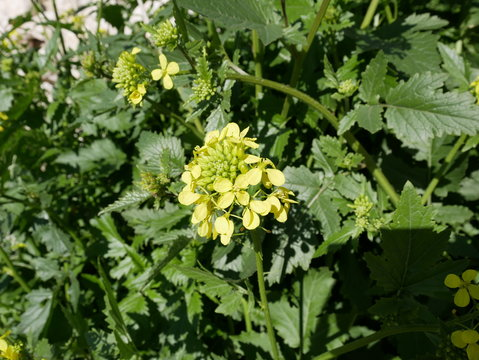 Sinapis arvensis. small yellow flowers of field mustard on the meadow in spring