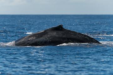 Humpback whale dorsal fin.