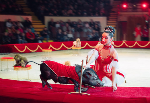 Performance of pigs in the circus.