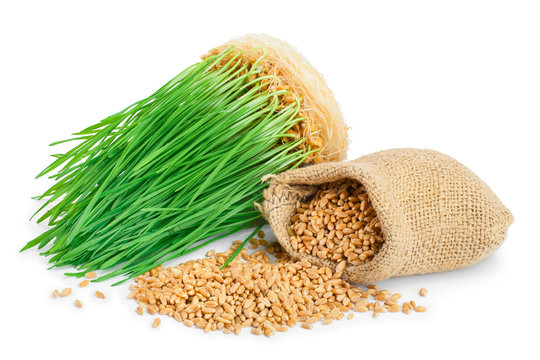 Wheat green sprouts, wheat seeds in the burlap bag isolated on white background