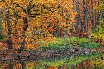 Wald mit Eichen und Buchen im Herbst an einem Teich Großhansdorf, Schleswig-Holstein, mit Spiegelung.