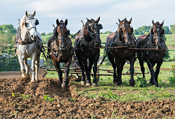 Five Draft Horse Team pulling together in a rural setting.Rolling Hills in the background. Ohio Wall mural