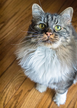Manx Cat Looking Up. Sitting on a wooden floor beautiful green eyes staring right at you. Bobtail cat.