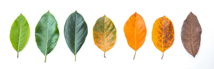 Wall Mural - Closeup jackfruit leaves in different color and age . Line of colorful leaves in spring autumn season. Environment changed concept. Top view or flat lay background banner.