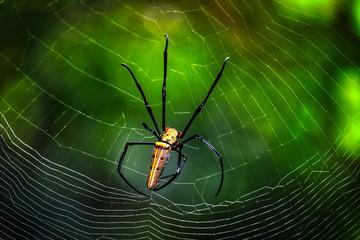Dieses einzigartige Foto zeigt eine sehr gefährliche und giftige Spinne, die im Duschedschungel von Thailand in ihrem Spinnennetz sitzt