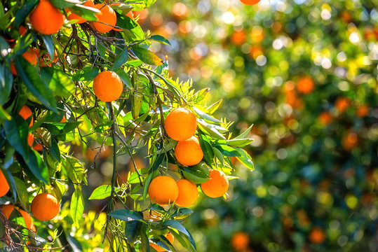 Orange garden in sunlight with rape orange fruits on the sunny trees and fresh green leaves. Mediterranean natural agricultural background