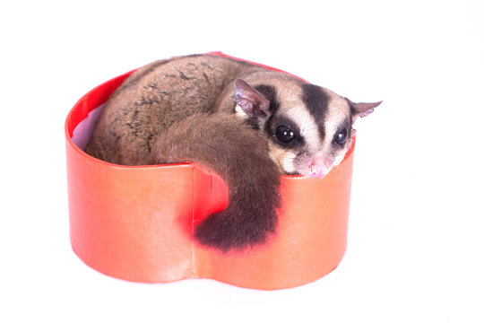 sugar glider with red gift box