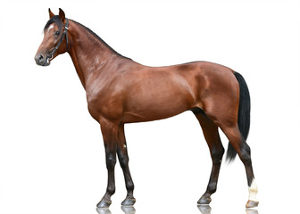 Photo sur Plexiglas Chevaux The beautiful brown sport horse standing isolated on white background. Side view