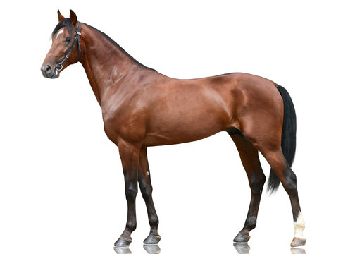 The beautiful brown sport horse  standing isolated on white background. Side view