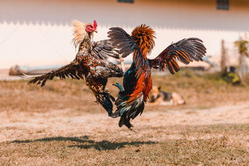 The fighting cock of Thailand is fighting in the midst of nature. In Thailand, this fight was brought into the sporting event. In addition, gambling is involved.