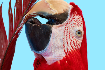 A portrait of Ara macao during self-cleaning. Scarlet macaw (Ara macao) is a large red, yellow, and blue parrot from Central and South America. Wall mural