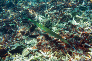 Pipefish (needlefish) floats among corals on the colorful coral reef near tropical Mauritius island