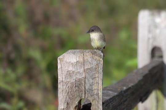 Eastern Phoebe on a Fence Post
