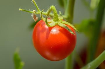 Fresh raw organic cherry tomato on the vine