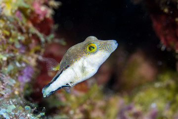 Close up of a juvenile fish as a part of the coral reef in the Caribbean Sea around Curacao