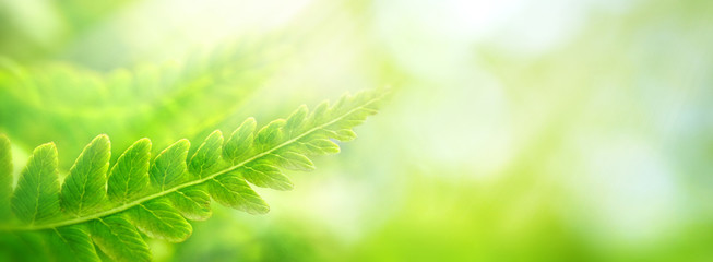 Keuken foto achterwand Lime groen Beautiful natural background border with fresh juicy light green foliage of fern in sunlight in spring summer and defocused bokeh outdoors in nature, panorama, copy space.