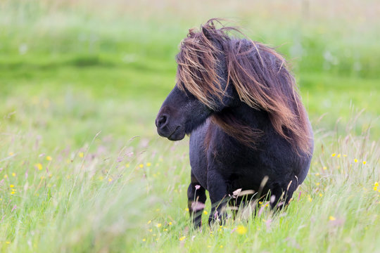 Single Shetland Pony with long hair standing in wind on short grass