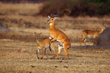 The breeding season with the kob (Kobus kob) on the plains. Mating time for kob on Ugandan savanna.Love antelope in dry savanna.