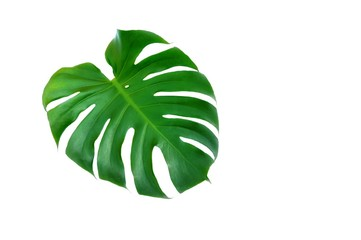 Fresh green jungle monsters leaf on isolated white background with copy space